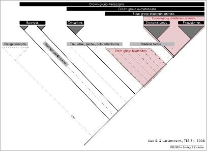 Tentative de positionnement phylogénétique des principaux organismes édiacariens (en tirets)