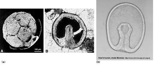 Exemple d'embryons phosphatisés trouvés à Doushantuo et embryon d'échinoderme actuel pour comparaison