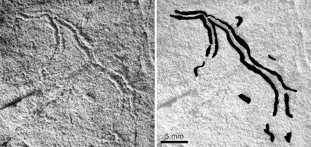 Myxomitodes stirlingensis, détail d'un spécimen de la faune de Stirling et dessin interprétatif