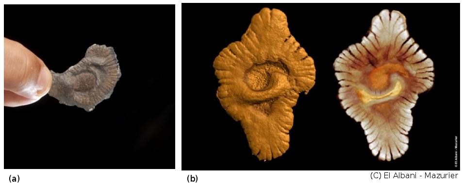 Exemples de spécimens et de reconstitutions par ordinateur des fossiles du Gabon