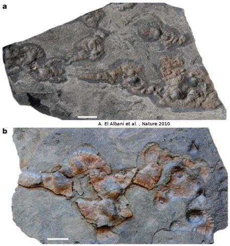 Dalle de «black shales» portant des «macrofossiles» du Paléoprotérozoïque, près de Franceville, Gabon