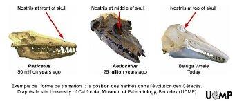 Aetiocetus, un cétacé fossile montrant des caractères morphologiques intermédiaires entre ceux des premiers représentants de ce groupe et des cétacés actuels
