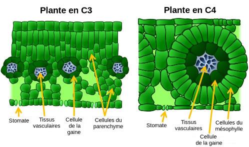 Anatomie comparée des feuilles pour les plantes en C3 et en C4