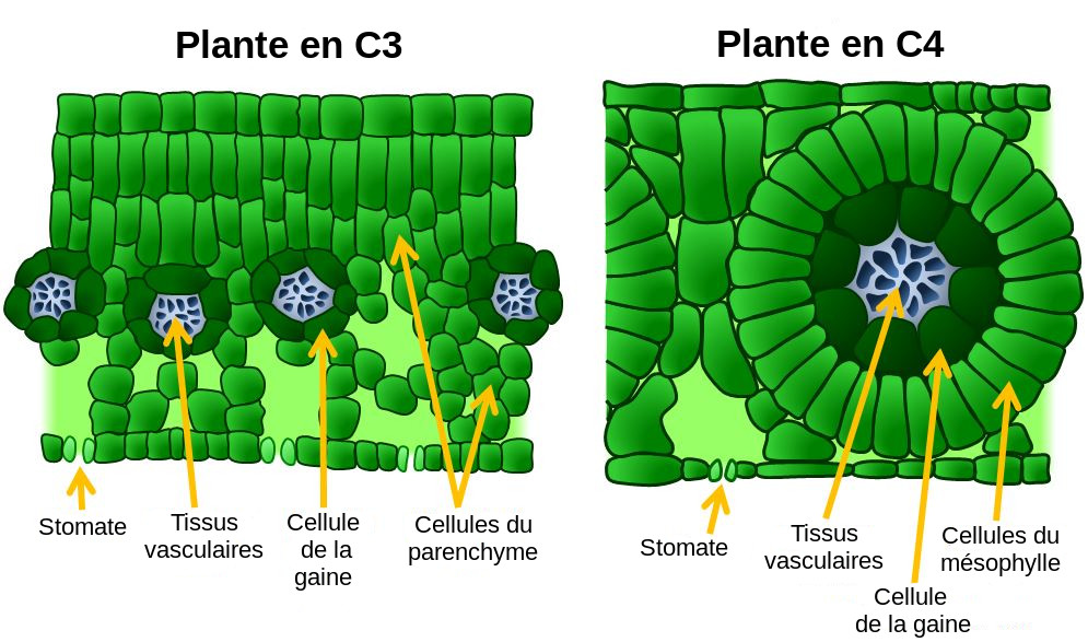 Anatomy Of C3 And C4 Plants