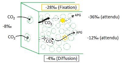 Fractionnement différentiel entre diffusion et fixation par la rubisco