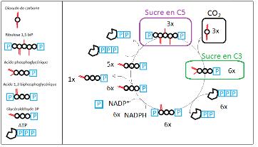 Assimilation du CO2 atmosphérique dans le cycle de Calvin des plantes en C3