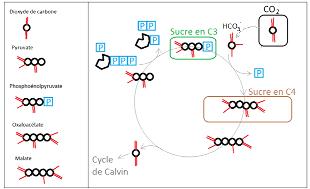 Assimilation du CO2 atmosphérique chez les plantes en C4