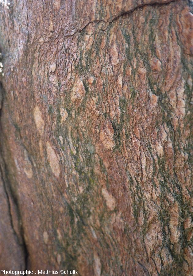 Les gneiss de Bormes au niveau du col de Caguo-Ven, commune de Bormes-les-Mimosas, détail