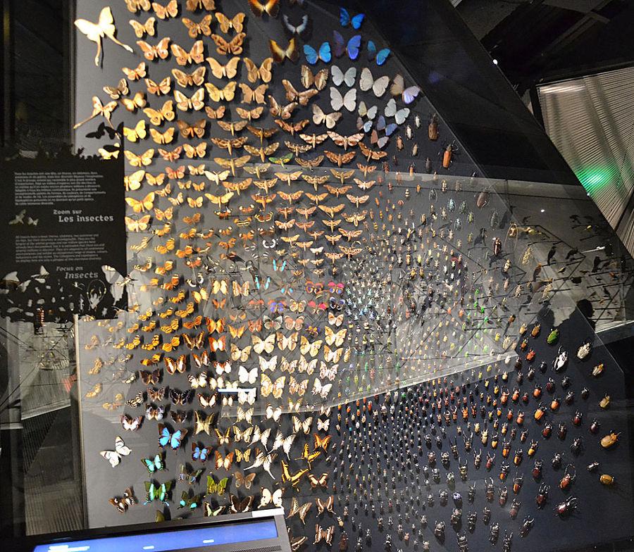La vitrine des insectes, notamment des papillons, du Musée des Confluences de Lyon