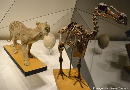 Vitrine montrant des animaux disparus depuis quelques siècles dont, visibles sur cette photo, un loup (ou tigre) de Tasmanie naturalisé, un œuf d'Aepyornis, et un squelette de dodo