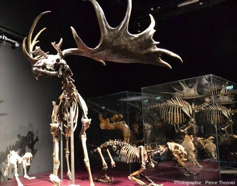 Quelques exemples de mammifères fossiles présentés au Musée des Confluences de Lyon
