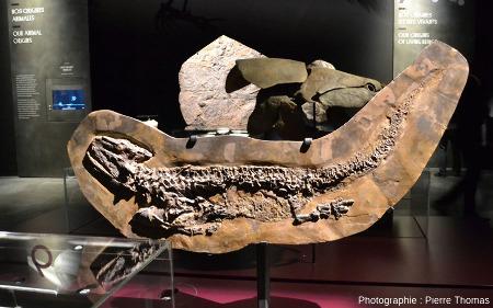 Un amphibien stégocéphale du Permo-carbonifère