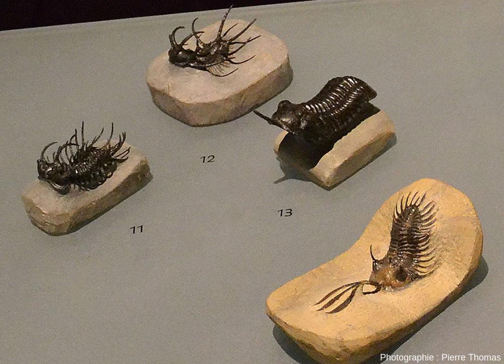 Les individus 9, 11, 12 et 13 de la petite collection de trilobites extraordinairement bien conservés