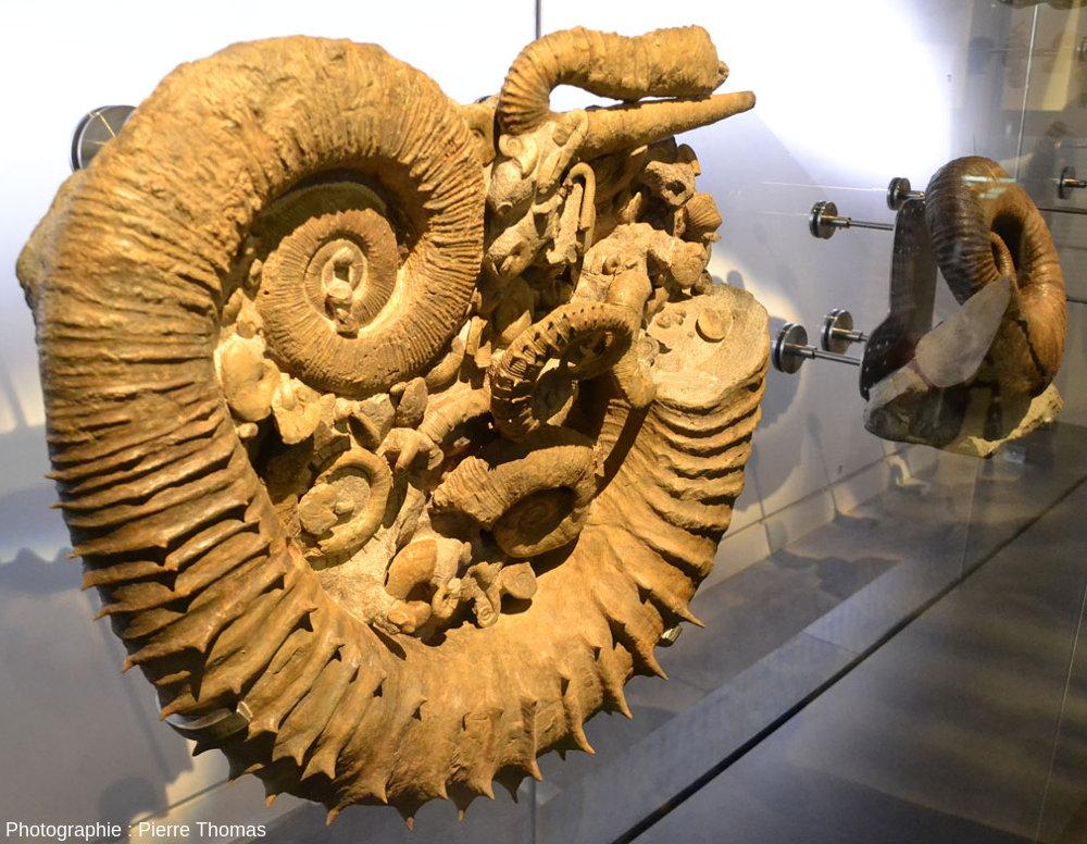 L'Évolution a fait des ammonites un des groupes fossiles les plus diversifiés