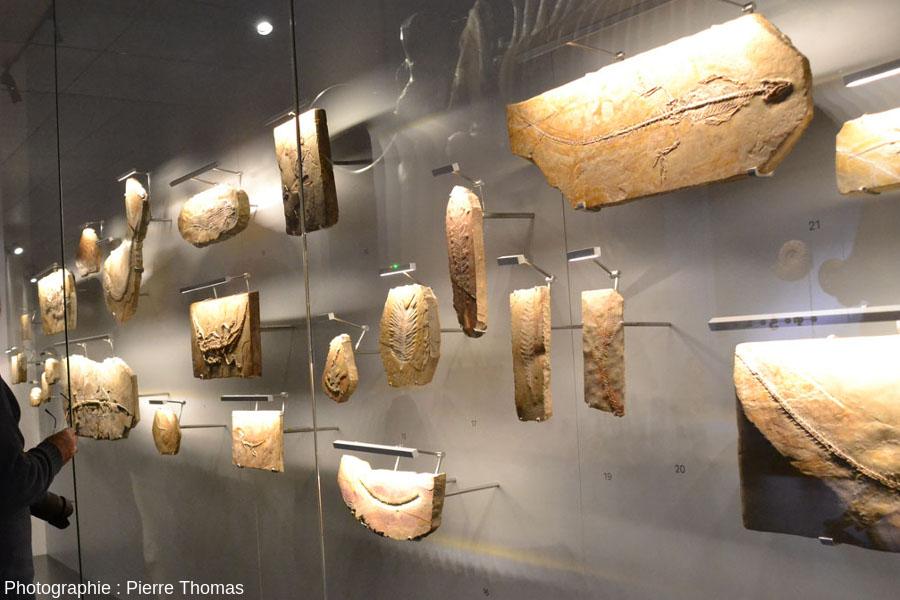 "La vitrine des fossiles de Cerin avec crocodiles, pseudo-cycas…, témoins de la vie locale""tropicale"" il y a 150Ma"