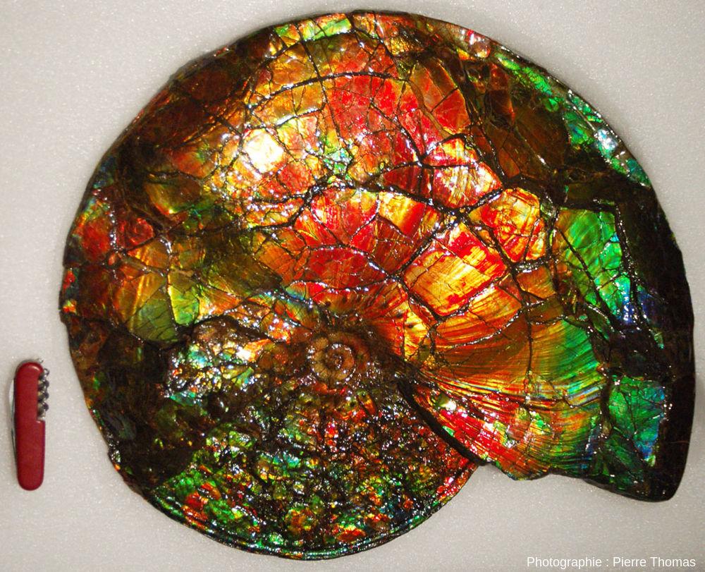 Une pièce spectaculaire que tout le monde remarque mais qui nécessiterait des explications complémentaires: ammonite nacrée de la Bearpaw formation, Crétacé supérieur de l'Alberta (Canada)