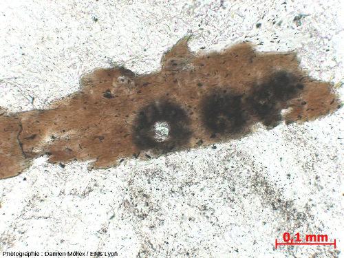 Zircons en inclusion dans une biotite du granite de Huelgoat (Finistère), LPNA