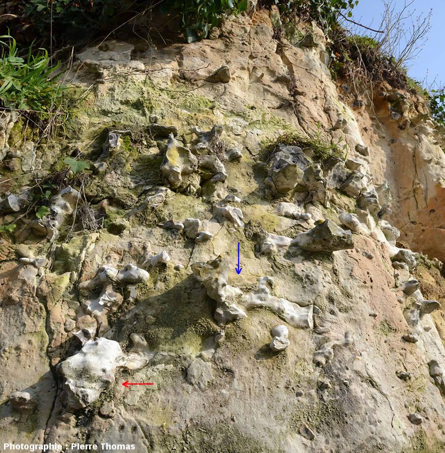 Falaise de craie dans le village troglodytique de Troo (Loir et Cher) montrant de nombreux rognons de silex avec des formes étranges, dont un en forme de crâne de bœuf (flèche rouge) et l'autre en forme d'os (fémur) de bœuf (flèche bleue)