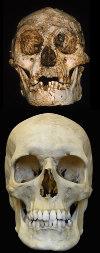 Comparaison des crânes d'Homo floresiensis (en haut) à celui de l'Homo sapiens actuel