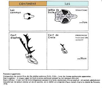 Comparaison des mammifères des îles méditerranéennes (Sicile, Crête...) avec des formes continentales apparentées