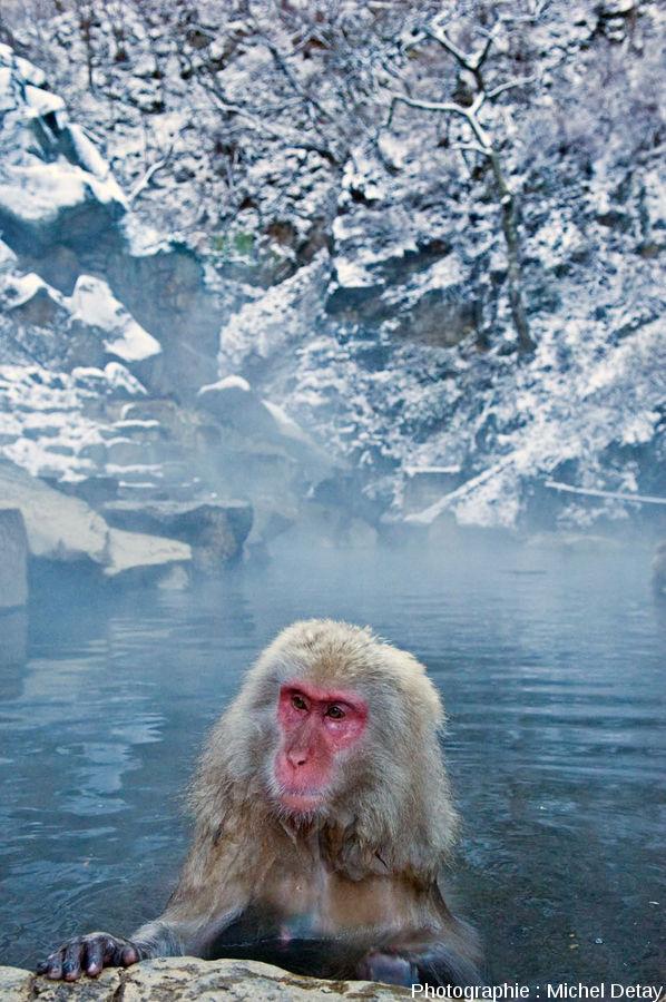 Les sources chaudes du parc de Jigokudani (Japon)