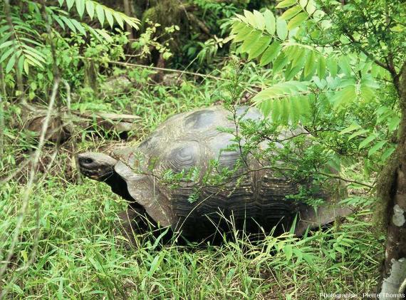 Une tortue terrestre géante (Chelonoidis sp.) des Galapagos
