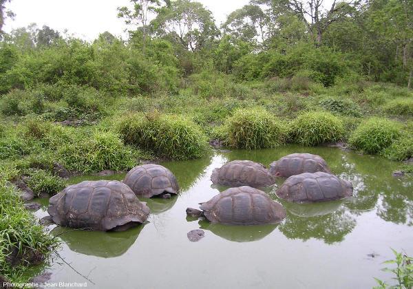 Des tortues géantes des Galapagos se baignant dans une mare
