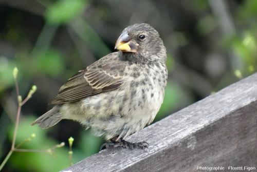 Un pinson de Darwin aux Galapagos