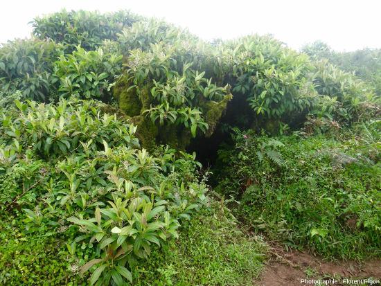 Zone à Miconia sur l'ile San Cristobal