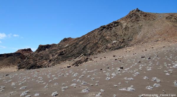 Plantes pionnières du genre Tiquilia colonisant les cendres et tufs de l'ile Bartolome