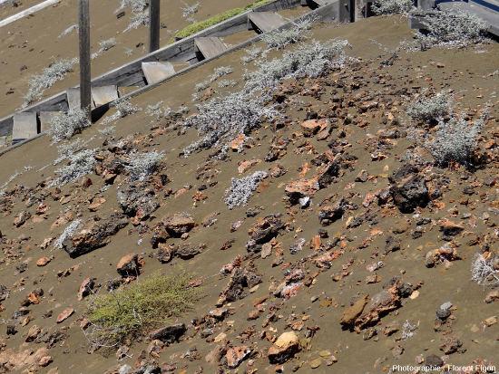 Plantes pionnières des genres Tiquilia et Chamaesyce colonisant les cendres et pyroclastites de l'ile Bartolome