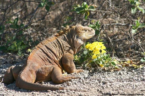 Conolophus subcristatus, iguane terrestre le plus abondant des Galapagos, sur l'ile Isabela