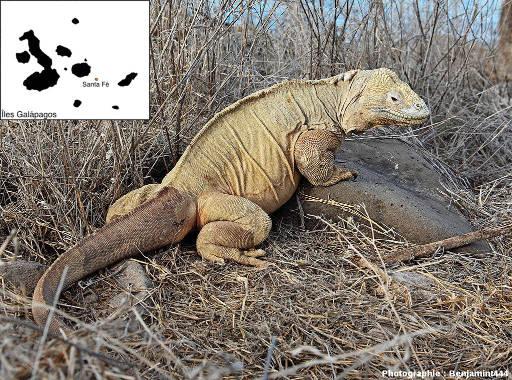 Conolophus pallidus, iguane terrestre de Santa Fé