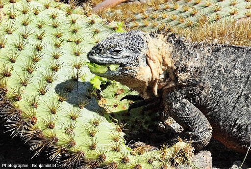 """Un individu de l'espèce Conolophus subcristatus en train de se nourrir de la chair d'une """"raquette"""" d'un cactus du genre Opuntia"""