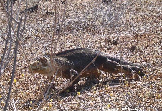 Iguane terrestre dans son milieu de vie sur l'ile Isabela