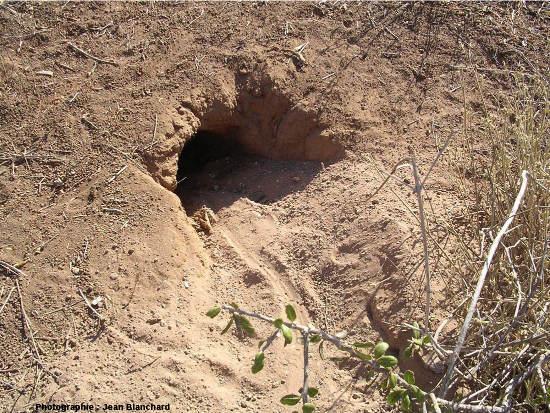 Terrier d'iguane terrestre creusé dans le sable et la terre sur l'île Isabela