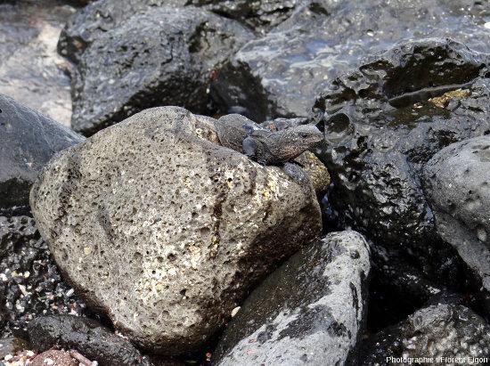 Jeune iguane marin (Amblyrhynchus cristatus) d'une dizaine de centimètres faisant du basking sur des galets sur l'ile San Cristobal