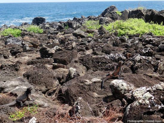 Iguanes marins (Amblyrhynchus cristatus) sur une côte pierreuse de l'ile San Cristobal