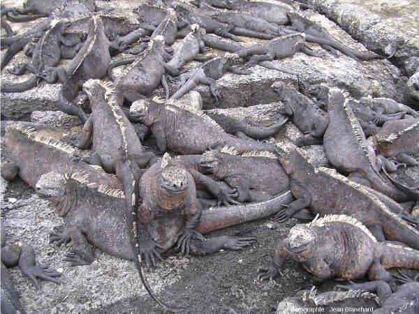 Iguanes marins montrant un comportement grégaire sur une plage de l'ile Fernandina, Galapagos