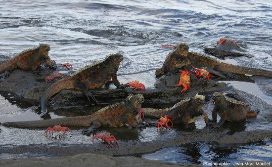 Commensalisme entre l'iguane marin et le Sally-pied-léger, un crabe rouge (Grapsus grapsus), ile Santiago, Galapagos