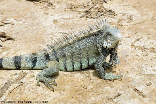 Un iguane vert, Iguana iguana, potentielle espèce continentale pouvant se rapprocher de l'ancêtre commun aux iguanes des Galapagos