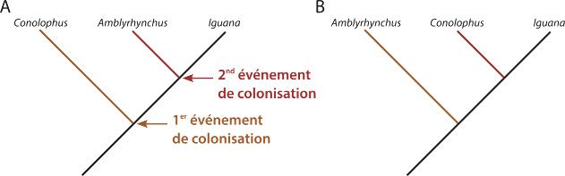 Deux modèles de relation de parentés possibles dans le cas d'une colonisation en deux temps des iles Galapagos par des iguanes continentaux du genre Iguana