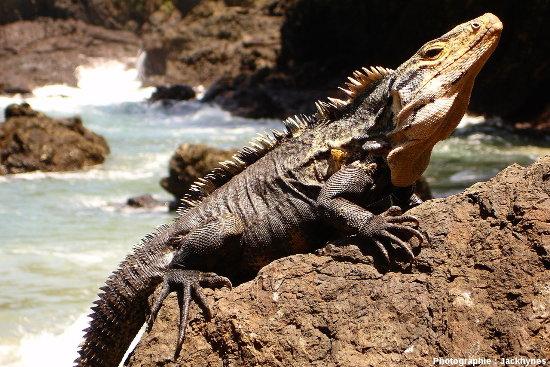 Iguane du genre Ctenosaura, potentiel iguane continental se rapprochant de l'ancêtre commun aux iguanes des Galapagos