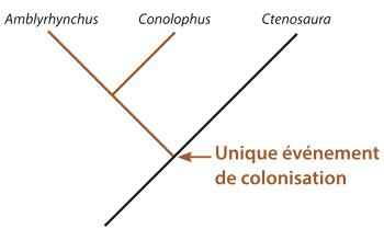 Le modèle de relation de parenté entre les iguanes des Galapagos dans le cas d'un unique événement de colonisation des Galapagos par des iguanes continentaux du genre Ctenosaura