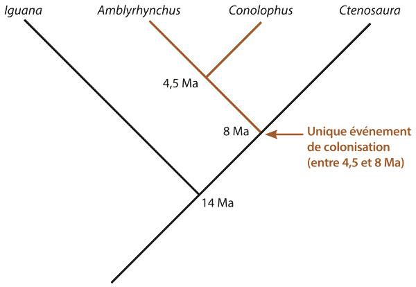 Phylogénie simplifiée la plus récente permettant d'expliquer l'origine évolutive des iguanes des Galapagos