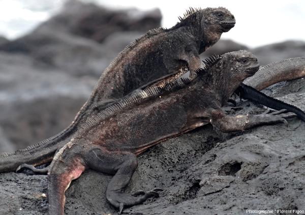 Exemple d'iguanes amaigris sur l'île San Cristobal