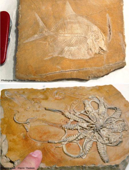 Deux roches calcaires contenant des fossiles et provenant d'une même carrière, le gisement de Cerin (Ain)
