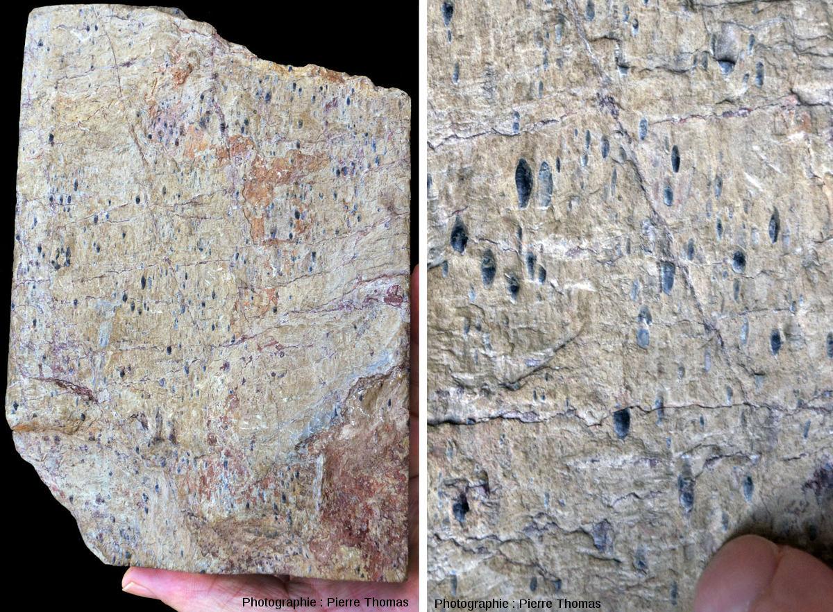Une roche déformée: un calcaire oolitique du Jurassique inférieur, étiré à haute température, Calse, Pyrénées Orientales