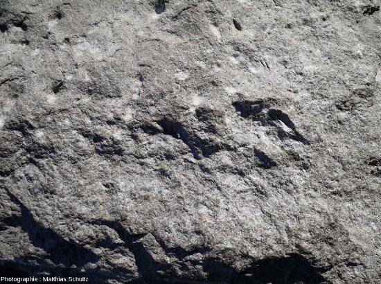 Calcaire dense, gris clair, du groupe de Trenton, montrant de nombreux fossiles de l'Ordovicien moyen (Québec, Canada)