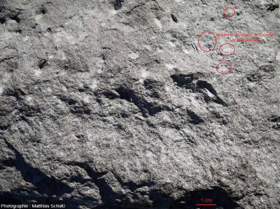 Photographie précédente légendée pour faire ressortir les fossiles (coquilles de Brachiopodes)